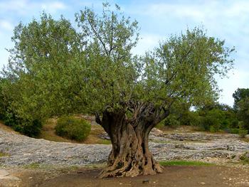 Le Cinque S dell'ulivo: Sole, Sassi, Siccità, Silenzio, Solitudine    Lavinium