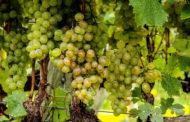 Regolamento C.E. 203/12 sul vino biologico