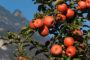 Distillato di mele del Trentino