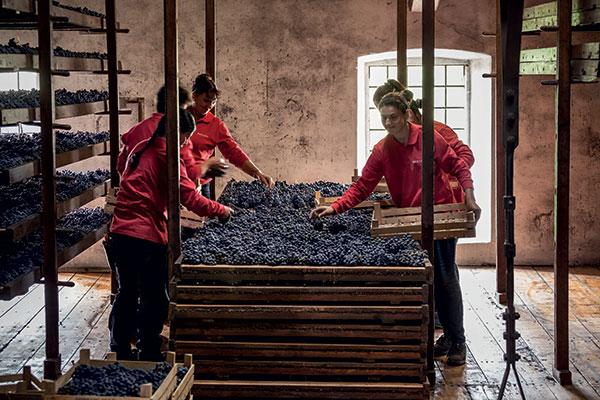 La messa a riposo delle uve per l'Amarone