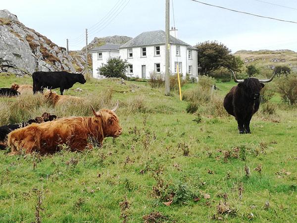 Bovini al pascolo sull'isola di Skye