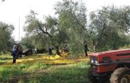 La cultura dell'Olio, una giornata didattica al Frantoio Schinosa