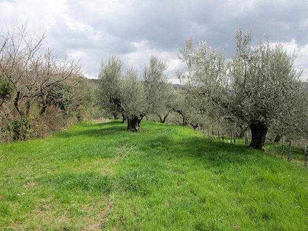 ulivi azienda Parovel