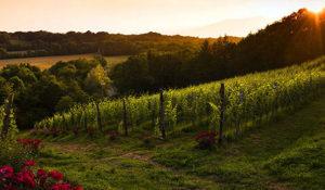 vigne azienda Cascina Preziosa