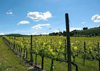vigne azienda Solaria