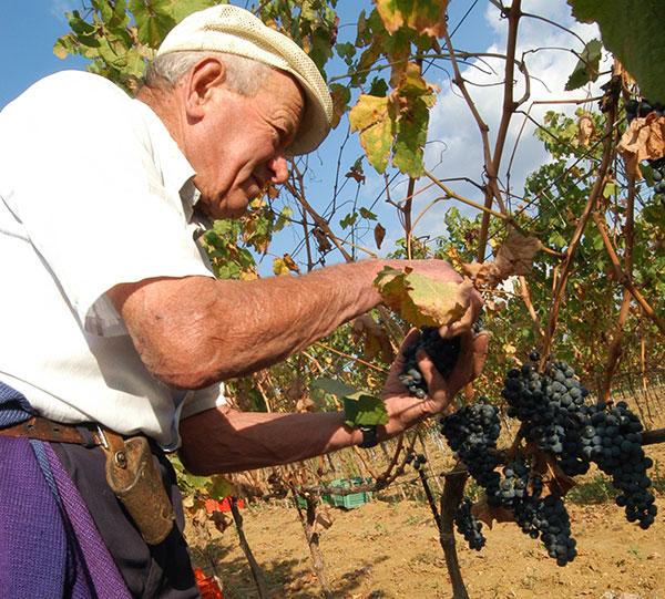 Raccolta delle uve intorno al Trasimeno