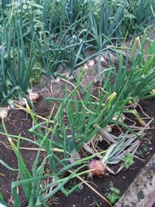 coltivazione cipolla