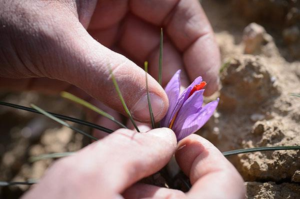 Il perigonio, fiore dello zafferano