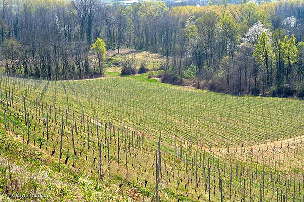 Le vigne di Enrico Crola