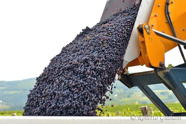 L'uva vendemmiata e diraspata viene scaricata nelle vasche