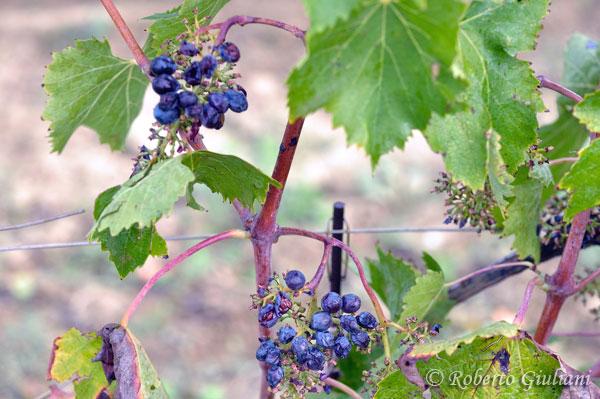 L'uva non raccolta dalla vendemmiatrice