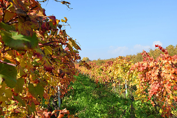 vigneti in autunno Azienda Agricola Marrone