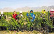 Il vino di qualità nell'Estremo Oriente: Silver Heights Vineyard e altri casi cinesi