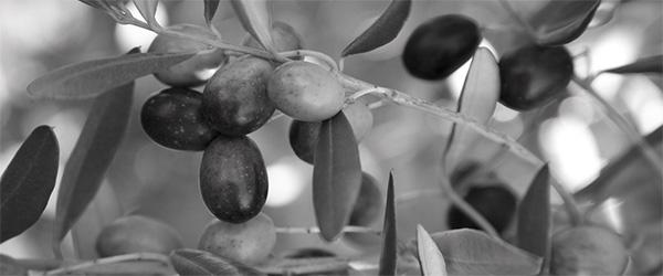 Ramo d'ulivo fruttificato