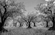 Il Salento, gli ulivi e la xilella: frammenti diversi e qualche ricordo