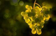 Riflessi d'uva