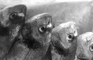 La scelta del pesce tra ricerca, mercato, metropoli e sostenibilità (economica)